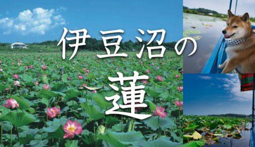 遊覧船はペットOK!見頃はお盆シーズン、宮城・伊豆沼はすまつりに行ってきました。